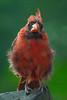 Male Northern Cardinal (Cardinalis cardinalis) in Columbia, South Carolina, USA, August 2015. [Cardinalis cardinalis 001 Columbia-SC-USA 2015-08]