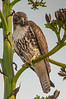 Red-tailed Hawk (Buteo jamaicensis) at Fullerton Arboretum, California, February, 2011. [Buteo jamaicensis 001 Fullerton-CA-USA 2011-02]