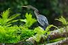 A female American Darter or Snakebird (Anhinga anhinga) at Tortuguero, Costa Rica, September 2015. [Anhinga anhinga 001 Tortuguero-CostaRica 2015-09]