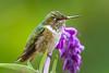 Female Volcano Hummingbird (Selasphorus flammula) from San Gerardo De Dota, Costa Rica, September 2015. [Selasphorus flammula 013 SanGerardoDeDota-CostaRica 2015-09]