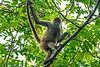 Ornate Geoffroy's Spider Monkey (Trachemys scripta scripta) at Tortuguero, Costa Rica, September 2015. [Trachemys scripta scripta 001 FrancisBeidlerForest-SC-USA 2015-08]