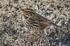 A Savannah Sparrow (Passerculus sandwichensis) at Bolsa Chica Wetlands Reserve, southern California, February 2014. [Passerculus sandwichensis 005 BolsaChica-CA-USA 2014-02]