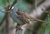 White-crowned Sparrow (Zonotrichia leucophrys) in an urban riparian garden in Arcata, Humboldt County, California, April 2015. [Zonotrichia leucophrys 009 Arcata-CA-USA 2015-04]