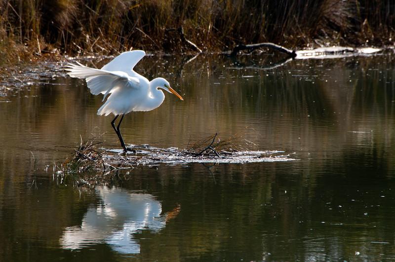 Great Egret (Ardea alba) in the Arcata Marsh, Humboldt County, California, December 2011.