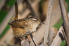 A Marsh Wren (Cistothorus palustris) briefly stops and sits while building one of his nests, in the Arcata Marsh, Humboldt County, California, March 2015. [Cistothorus palustris 005 ArcataMarsh-CA-USA 2015-03]