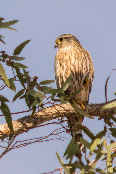 A female Merlin (Falco columbarius) in Casa Grande, Arizona, January 2015. [Falco columbarius 001 CasaGrande-AZ-USA 2015-01]