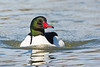 A male Common Merganser (Mergus merganser) at Gristmill river access in Sacramento, California, February 2016. [Mergus merganser 005 Sacramento-CA-USA 2016-02]