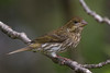 Female Purple Finch (Haemorhous purpureus), used to be (Carpodacus purpureus),  in a suburban riparian area of Arcata, Humboldt County, California, April 2015. [Haemorhous purpureus 049 Arcata-CA-USA 2015-04]