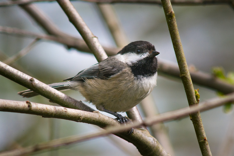 Black-capped Chickadee (Poecile atricapillus) in an urban riparian patch of Arcata, Humboldt County, California, April 2015. [Poecile atricapillus 001 Arcata-CA-USA 2015-04]