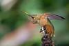 Rufous Hummingbird (Selasphorus rufus) at the Fullerton Arboretum, June 2015. [Selasphorus rufus 001 FullertonAbrtm-CA-USA 2015-06]