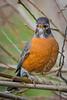 A formative-plumaged male (SY) male American Robin (Turdus migratorius) at the Humboldt Bay Wildlife Reserve, California, January 2015. [Turdus migratorius 003 Humboldt-CA-USA 2015-01]