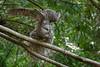 A Great Gray Owl (Strix nebulosa) stretches near Arcata, Humboldt County, California, February 2017. [Strix nebulosa 070 Humboldt-CA-USA 2017-02]