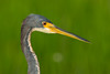 Head detail of a Tricolored Heron (Egretta tricolor) at Babcock-Webb Wildlife Management Area in Fort Myers, Florida, August 2017. [Egretta tricolor 029 FortMyers-FL-USA 2017-08]
