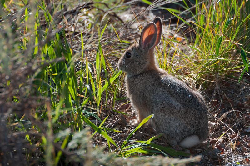 Mountain Cottontail (Sylvilagus nuttallii) near the rim of the Black Canyon of the Gunnison, Colorado, September 2010. [Sylvilagus nuttallii 001 Gunnison-CO-USA 2010-09]
