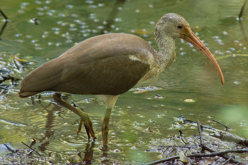 An immature White Ibis (Eudocimus albus) foraging at a stream at Audubon's Francis Beidler Forest in South Carolina, August 2015. [Eudocimus albus 002 FrancisBeidlerForest-SC-USA 2015-08]