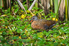 A Virginia Rail (Rallus limicola) at the Humboldt Bay National Wildlife Refuge, California, April 2017. [Rallus limicola 005 HBNWR-CA-USA 2017-04]