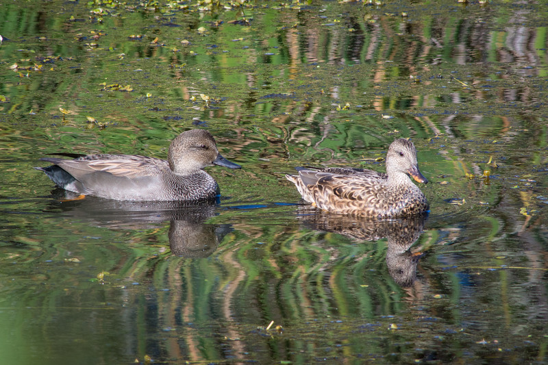 A pair of Gadwall (Anas strepera) at Arcata Marsh, Humboldt County, California, October 2014. [Anas strepera 001 Humboldt-CA-USA 2014-10]