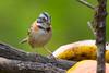 A Rufous-collared Sparrow (Zonatrichia capensis) at San Gerardo De Dota, Costa Rica, September 2015. [Zonatrichia capensis 012 SanGerardoDeDota-CostaRica 2015-09]