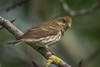 Female Purple Finch (Haemorhous purpureus), used to be (Carpodacus purpureus),  in a suburban riparian area of Arcata, Humboldt County, California, April 2015. [Haemorhous purpureus 026 Arcata-CA-USA 2015-04]