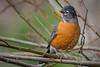 A formative-plumaged male (SY) male American Robin (Turdus migratorius) at the Humboldt Bay Wildlife Reserve, California, January 2015. [Turdus migratorius 001 Humboldt-CA-USA 2015-01]