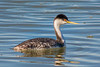 Probably intergrade of Clark's and Western Grebes (Aechmophorus occidentalis x clarkii) at the Arcata Marsh, Humboldt County, California, March 2015. [Aechmophorus occidentalis x clarkii 002 Humboldt-CA-USA 2015-03]