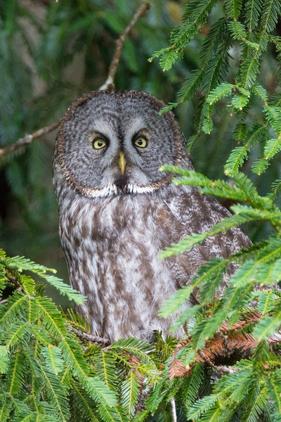 A Great Gray Owl (Strix nebulosa) at Boyes Prairie in Prairie Creek Redwoods State Park, Humboldt County, California, February 2016. [Strix nebulosa 062 Humboldt-CA-USA 2016-02]