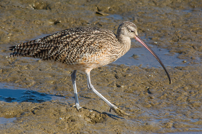Long-billed Curlew (Numenius americanus) at Bolsa Chica Wetlands, southern California, February 2014. [Numenius americanus 007 BolsaChica-CA-USA 2014-02]