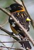 Black-headed Grosbeak Pheucticus melanocephalus) in Arcata, Humboldt County, California, April 2015. [Pheucticus melanocephalus 001 Arcata-CA-USA 2015-04]