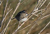 Lincoln Sparrow (Melospiza lincolnii) at the Arcata Marsh, Humboldt County, California, January 2016. [Melospiza lincolnii 001 ArcataMarsh-CA-USA 2016-01]