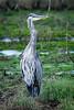 Great Blue Heron (Ardea herodias) at the Arcata Marsh, Humboldt County, California, September 2015. [Ardea herodias 013 ArcataMarsh-CA-USA 2015-09]