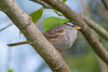 White-crowned Sparrow (Zonotrichia leucophrys) in an urban riparian garden in Arcata, Humboldt County, California, April 2015. [Zonotrichia leucophrys 005 Arcata-CA-USA 2015-04]