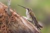 Juvenile Black-chinned Hummingbird (Archilochus alexandri) at Show Low, Arizona, July 2012. [Archilochus alexandri 001 ShowLow-AZ-USA 2012-07]