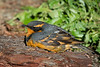 A formative plumaged (SY) male Varied Thrush (Ixoreus naevius) in Eureka, Humboldt County, California, New Years Day 2015. [Ixoreus naevius 001 Humboldt-CA-USA 2015-01]