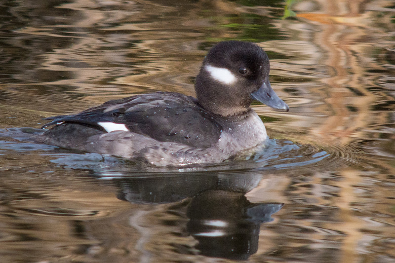 Juvenile Bufflehead (Bucephala albeola) at the Arcata Marsh, Humboldt County, California, December 2014. [Bucephala albeola 002 ArcataMarsh-CA-USA 2014-12]