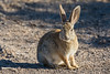 Desert Cottontail (Sylvilagus audubonii) at Henderson Bird Viewing Preserve in Las Vegas, Nevada, April 2016. [Sylvilagus audubonii 014 HBVP-NV-USA 2016-04]