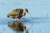 A White-faced Ibis (Plegadis chihi) foraging at Yolo Bypass near Sacramento, California, February 2016. [Plegadis chihi 007 Sacramento-CA-USA 2016-02]