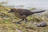 An immature Great-tailed Grackle (Quiscalus mexicanus) foraging at Frank G. Bonelli Park in Los Angeles County, California, June 2015. [Quiscalus mexicanus 016 FrankBonelliPk-CA-USA 2015-06]