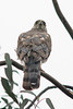 Cooper's Hawk (Accipiter cooperi) at Fullertron Arboretum, June 2015. [Accipiter cooperi 006 FullertonArbtm-CA-USA 2015-06]