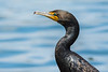 Head detail of a Double-crested Cormorant (Phalacrocorax auritus) at Frank G. Bonelli Park in southern California, June 2015. [Phalacrocorax auritus 011 FrankBonelliPk-CA-USA 2015-06]