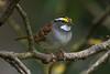 White-throated Sparrow (Zonotrichia albicollis) in a small patch of urban riparian forest in Arcata, Humboldt County, California, April 2015. [Zonotrichia albicollis 004 Arcata-CA-USA 2015-04]