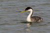 A Western Grebe (Aechmophorus occidentalis) at Bolsa Chica Wetlands Reserve in southern California, February 2014. [Aechmophorus occidentalis 001 BolsaChica-CA-USA 2014-02]