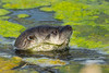 North American River Otter (Lontra canadensis) at the Yolo Bypass Interpretive Center ponds near Sacramento, California, February 2016. [Lontra canadensis 001 Sacramento-CA-USA 2016-02]