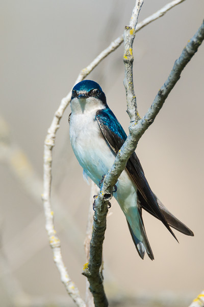 Tree Swallow (Tachycineta bicolor) at Gristmill River Access in Sacramento, California, February 2016. [Tachycineta bicolor 009 Sacramento-CA-USA 2016-02]