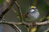 White-throated Sparrow (Zonotrichia albicollis) in a small patch of urban riparian forest in Arcata, Humboldt County, California, April 2015. [Zonotrichia albicollis 001 Arcata-CA-USA 2015-04]
