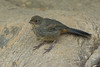 Immature California Towhee (Melozone crissalis) at the Fullerton Arboretum, California, June 2015. [Melozone crissalis 012 FullertonAbtm-CA-USA 2015-06]