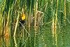 A male Yellow-headed Blackbird (Xanthocephalus xanthocephalus) among the reeds at Henderson Bird Viewing Preserve in Las Vegas, Nevada, April 2017. [Xanthocephalus xanthocephalus 027 HBVP-NV-USA 2017-04]