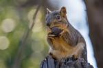 Fox Squirrel (Sciurus niger) at Del Paso Park off Auburn in Sacramento, February 2016. [Sciurus niger 005 Sacramento-CA-USA 2016-02]