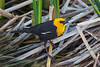 A male Yellow-headed Blackbird (Xanthocephalus xanthocephalus) at Henderson Bird Viewing Preserve in Las Vegas, Nevada, April 2017. [Xanthocephalus xanthocephalus 024 HBVP-NV-USA 2017-04]