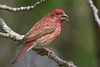 Male Purple Finch (Haemorhous purpureus), used to be (Carpodacus purpureus),  in a suburban riparian area of Arcata, Humboldt County, California, April 2015. [Haemorhous purpureus 052 Arcata-CA-USA 2015-04]