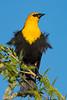 A male Yellow-headed Blackbird (Xanthocephalus xanthocephalus) at Henderson Bird Viewing Preserve in Las Vegas, Nevada, April 2016. [Xanthocephalus xanthocephalus 001 HBVP-NV-USA 2016-04]